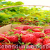 Petik Stawberry Ciwidey
