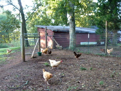 Letting the chickens out to free range