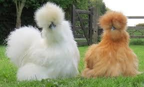 5 Jenis Ayam paling Unik Didunia