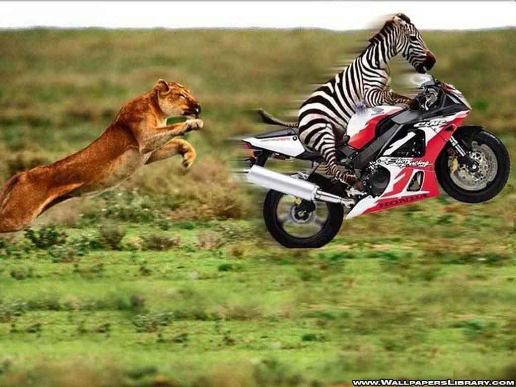 http://2.bp.blogspot.com/-tpMhxF_B1J0/T9NX9XS08UI/AAAAAAAAAOg/Vp3a6HWUcqk/s1600/funny-lion-and-zebra-wallpaper.jpg