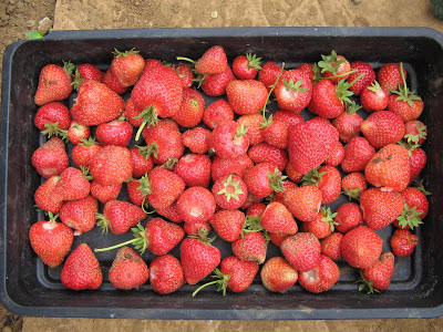 Lovely fresh strawberries.