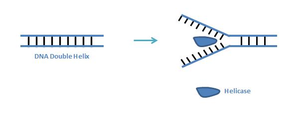 how dna is unwound so that Dna helicase pries apart the two strands in a dna double helix, powered by atp  the helix must be unwound to expose the bases,  so it takes appreciable energy.