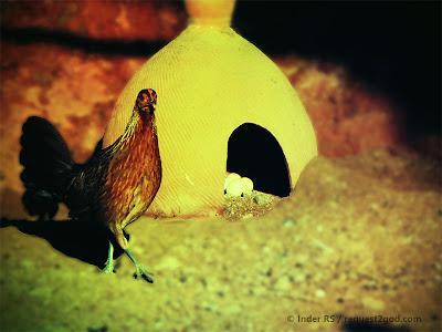 birds, hen, red jungle fowl, chicken, eggs, nest