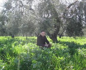 L'oliveto immerso nel verde del sovescio di legumi/cereali dal quale si produce l'Olio PignataroBIO