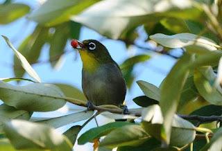 Cara Agar Burung Pleci Gacor Perawatan Usaha Budidaya