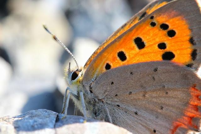 Tierfotos - Schmetterlinge - Kleiner Feuerfalter