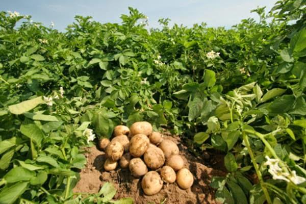 Mẹo vặt từ khoai tây