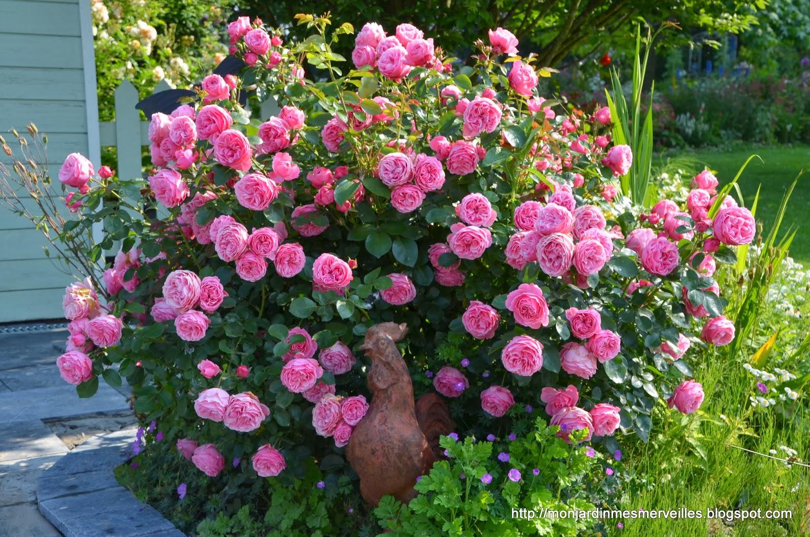 mon jardin mes merveilles les 5 plus longues floraisons de rosiers. Black Bedroom Furniture Sets. Home Design Ideas