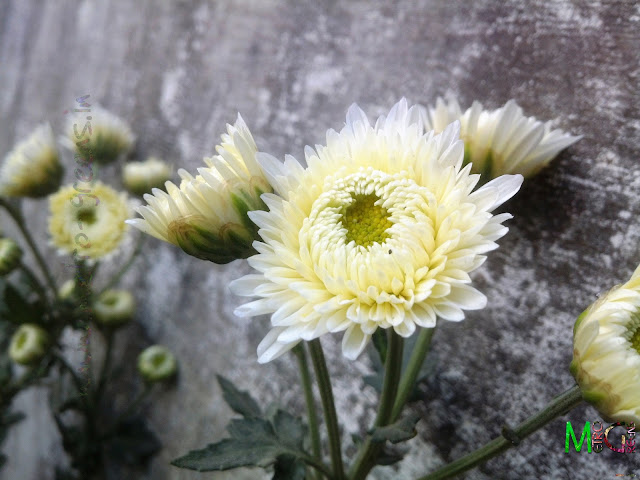 Metro Greens: Chrysanthemum