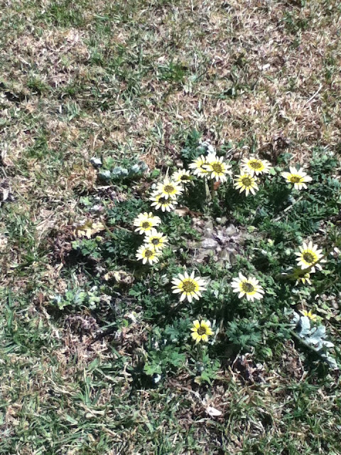 A small fairy ring of yellow flowers
