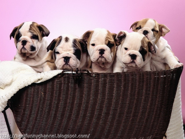 Five cute puppies.