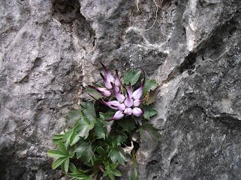 Physoplexis comosa (Raponzolo di roccia, Raponzolo chiomoso)