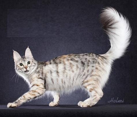 Cat In The World About Turkish Angora Breed