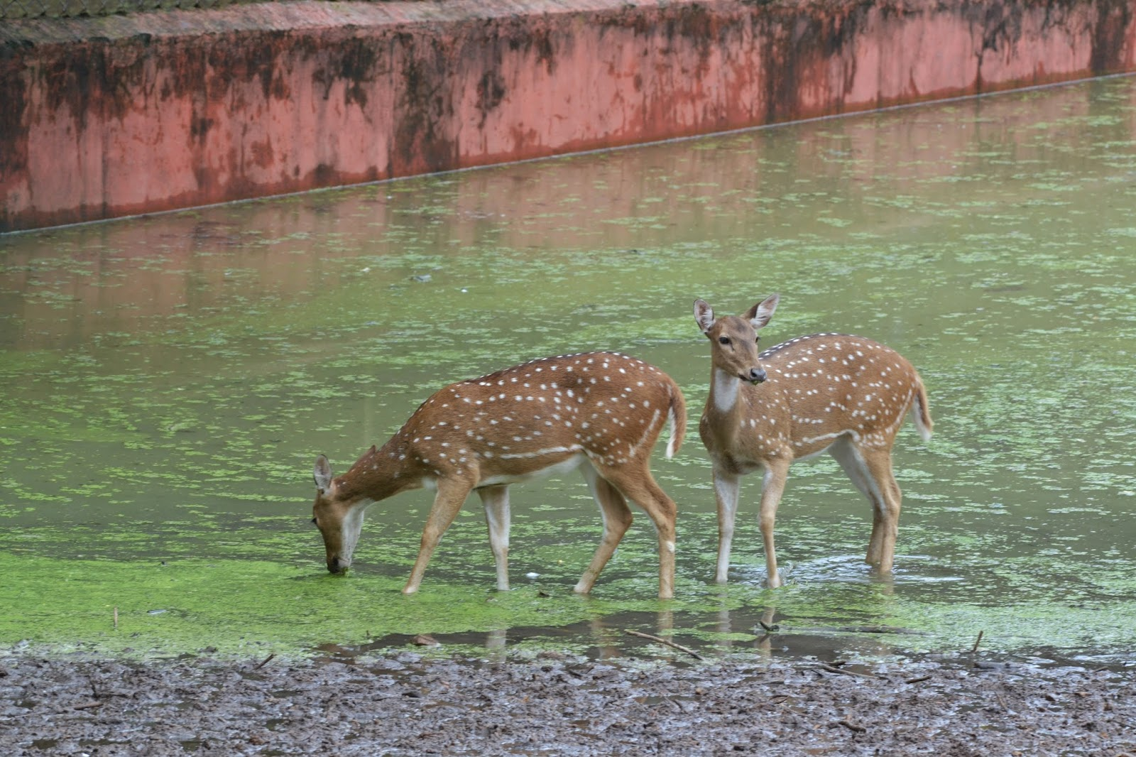 Deer  at Nandankanan zoological park
