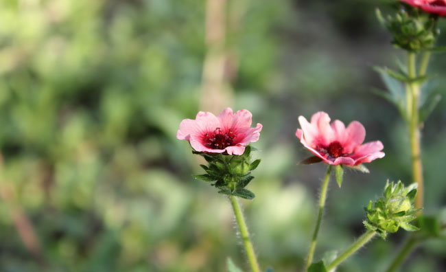 Cinquefoil Flowers Pictures