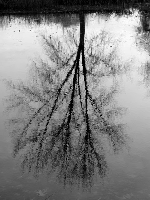 bare tree reflected