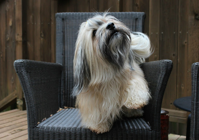 Rocco Havanese dog high five