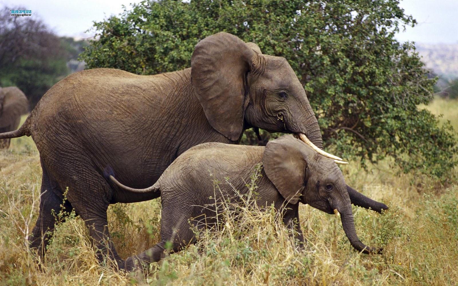 olifanten achtergronden bureaublad - photo #27