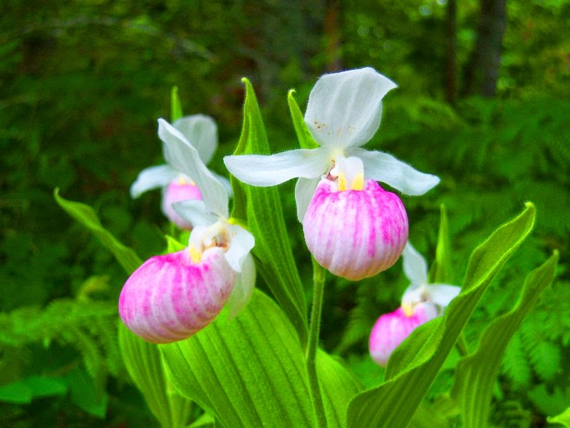 Benefits Of Lady's Slipper (Cypripedium Pubescens) For Health