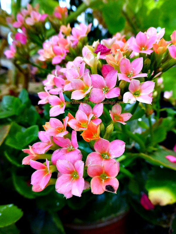 K is for kalanchoe raw thoughts and feelings - White flowering house plants ...