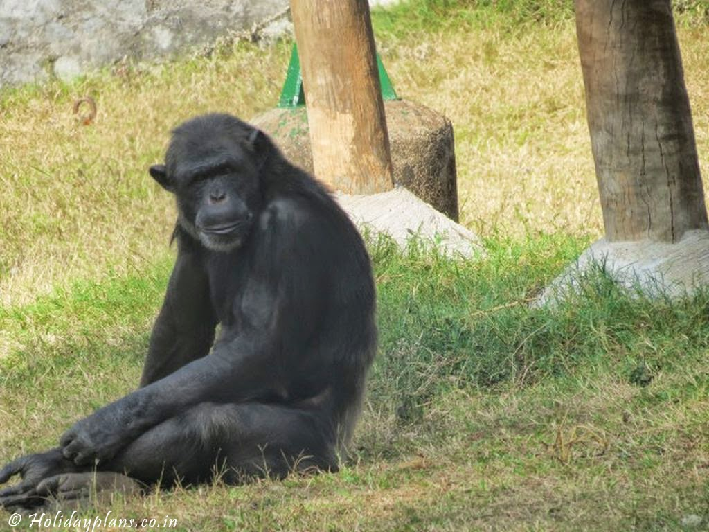 Apes Relaxing in Zoo