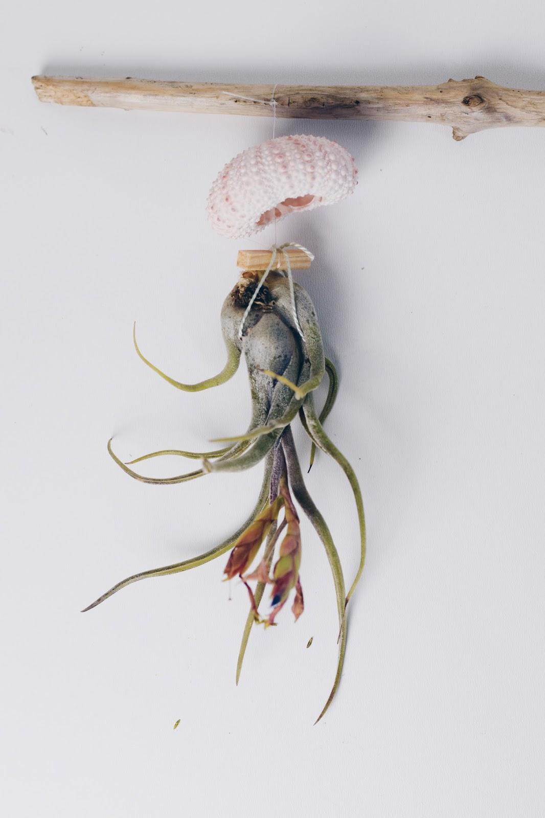 zimtzebra jellyfish dekoration und tillandsien airplant pflege. Black Bedroom Furniture Sets. Home Design Ideas