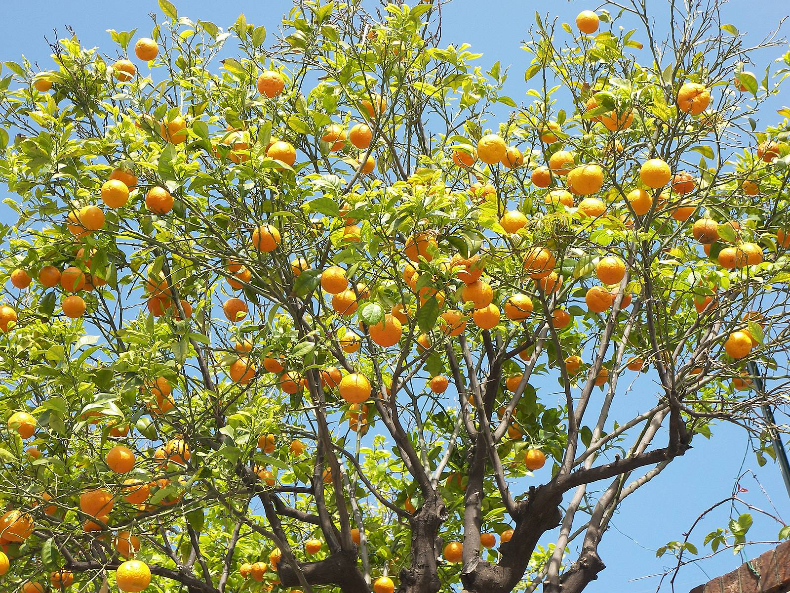 Interesting facts about oranges | Just Fun Facts
