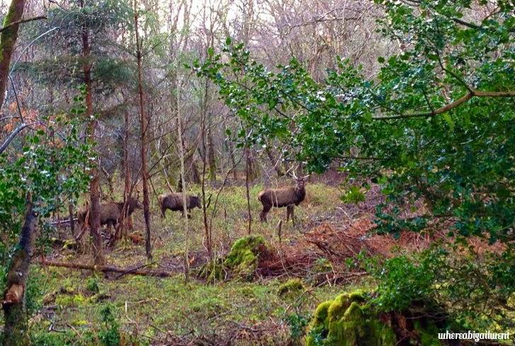 Red Irish Deer Killarney National Park