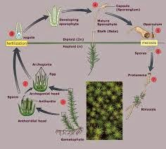 Bryophytes asexual reproduction pictures