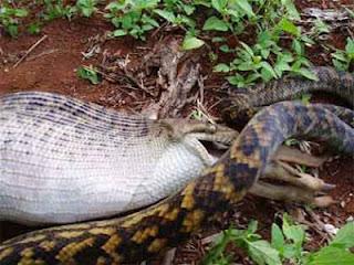 foto ular python kecil makan kangguru