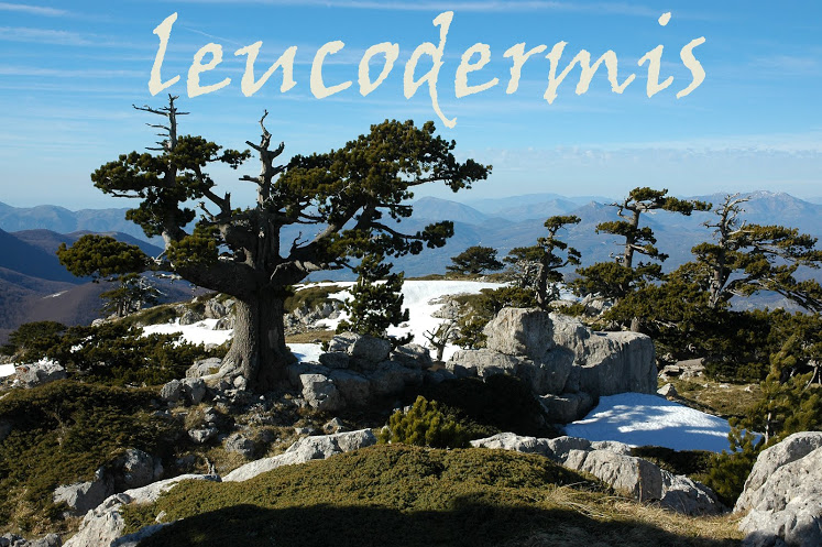 Leucodermis