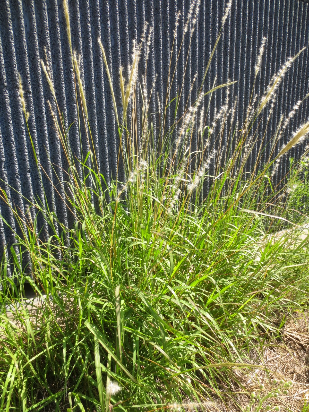 tropical texana  native ornamental grasses for southern gardens