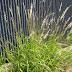 NATIVE ORNAMENTAL GRASSES FOR SOUTHERN GARDENS