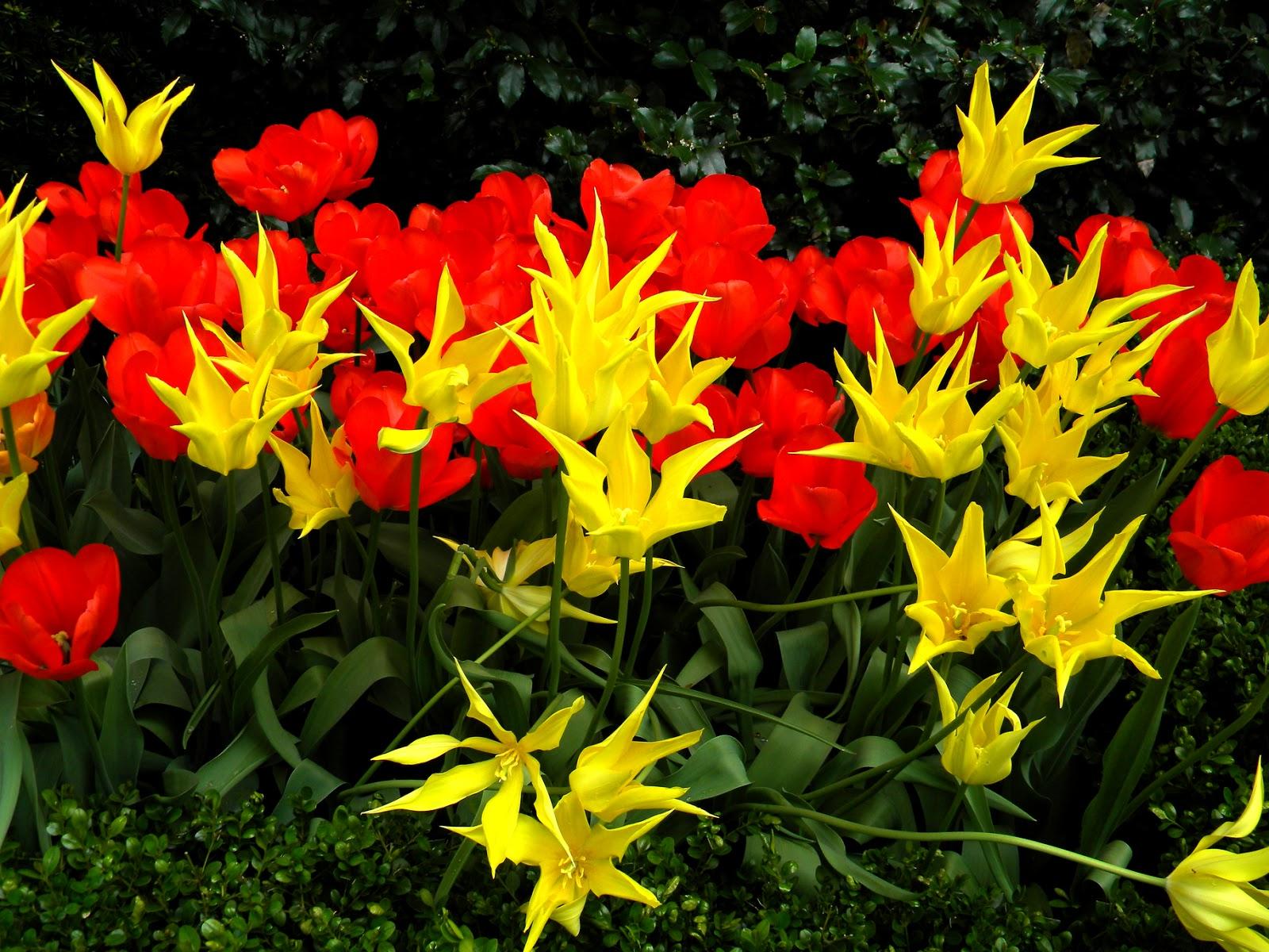 Orange Yellow and Red Tulips