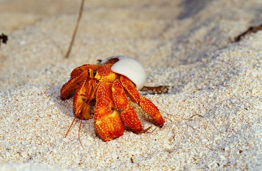 strawberry hermit crab Strawberry hermit crab med 557-0009-6 details strawberry hermit crab xlg ghost land hermit crab sml.