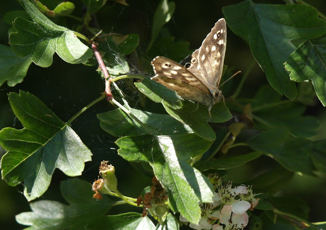 Speckled Wood Brown Butterfly College Lake Wildlife Reserve