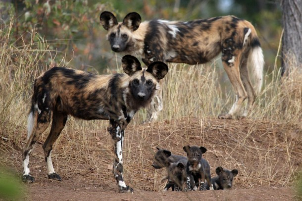 African Wild Dogs Nice New Pictures Albam 2012 - Pets Cute and Docile