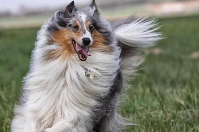 Psy rasy Owczarek Szkocki Długowłosy