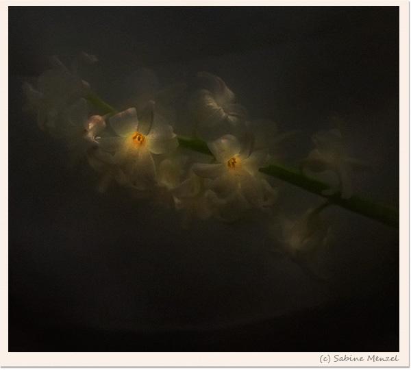 Psynopsis Victorian Hyacinth