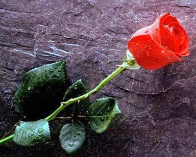 Legenda Asal Usul Bunga Mawar