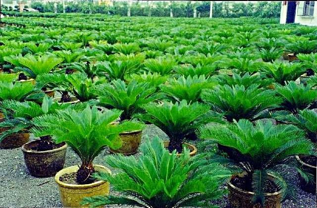 http://tukangtamankaryaalam.blogspot.com/2014/12/pohon-sikas-palem-sikas-pembuatan-taman.html