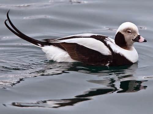 Indian birds - Long-tailed duck - Clangula hyemalis
