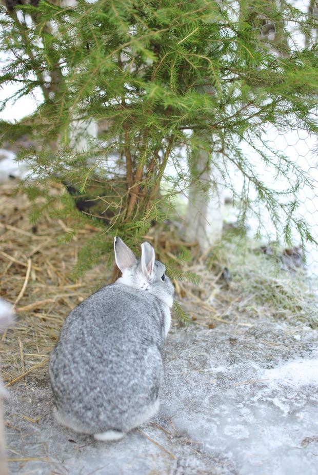 grå hermelinkanin