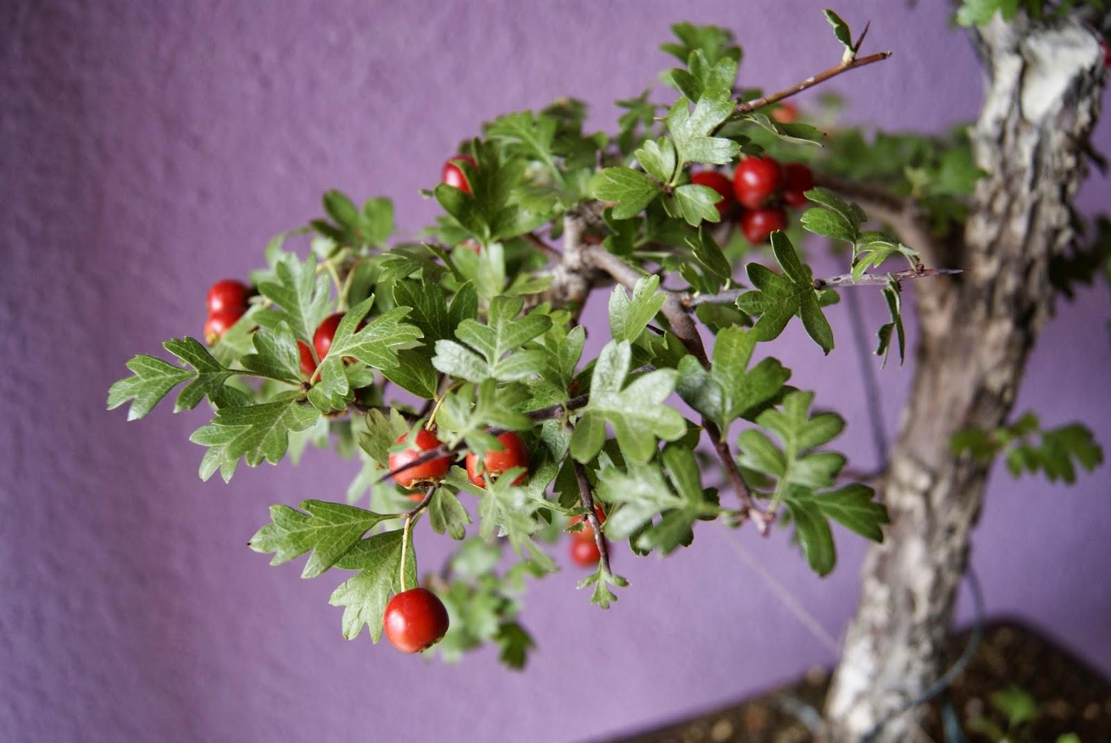 Donguri for Como se llaman los arboles que no pierden sus hojas