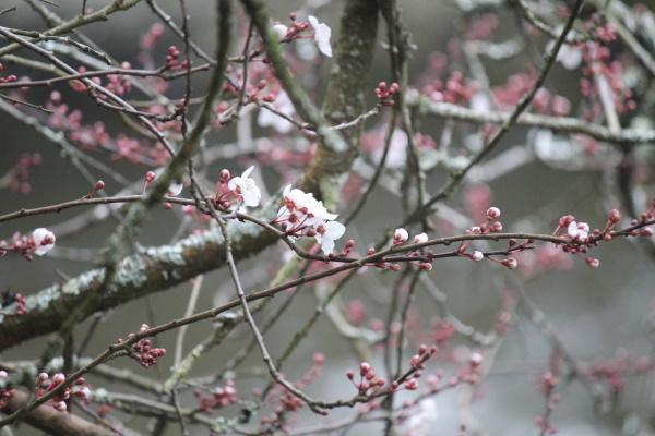 Sakura Hanami