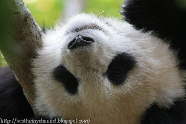 panda bears pictures 21
