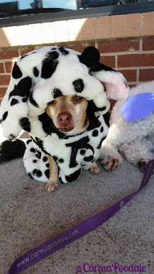 Chihuahua dressed up like a cow.