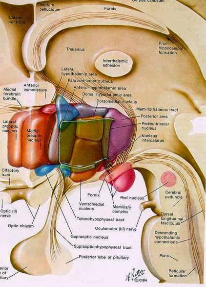 que son las hormonas no esteroideas