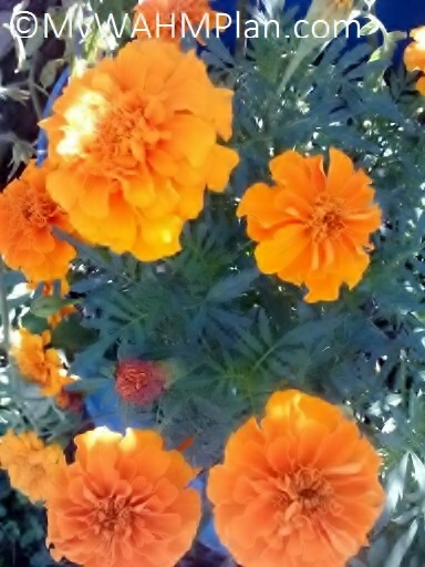 Marigolds blooming on the deck MWP