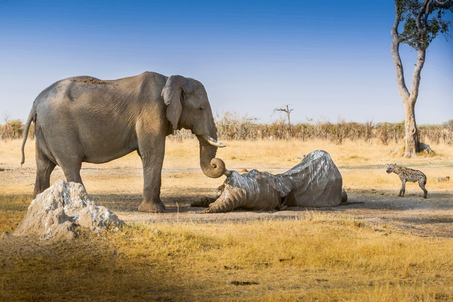 50 Powerful Photos Capture Extraordinary Moments In The Wild - An elephant guards the body of a fallen friend from scavengers.